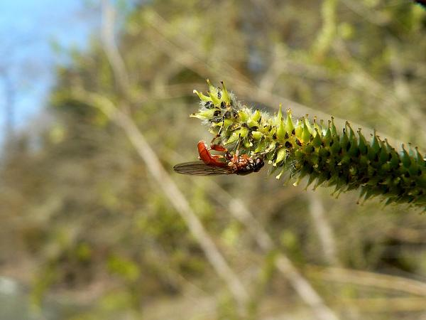 Sitka Willow (Salix Sitchensis) https://www.sagebud.com/sitka-willow-salix-sitchensis