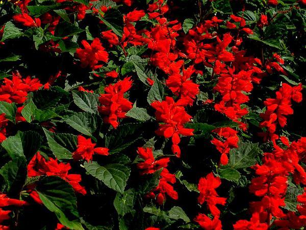 Scarlet Sage (Salvia Splendens) https://www.sagebud.com/scarlet-sage-salvia-splendens