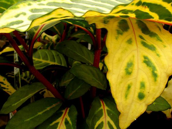 Shrubby Whitevein (Sanchezia Speciosa) https://www.sagebud.com/shrubby-whitevein-sanchezia-speciosa