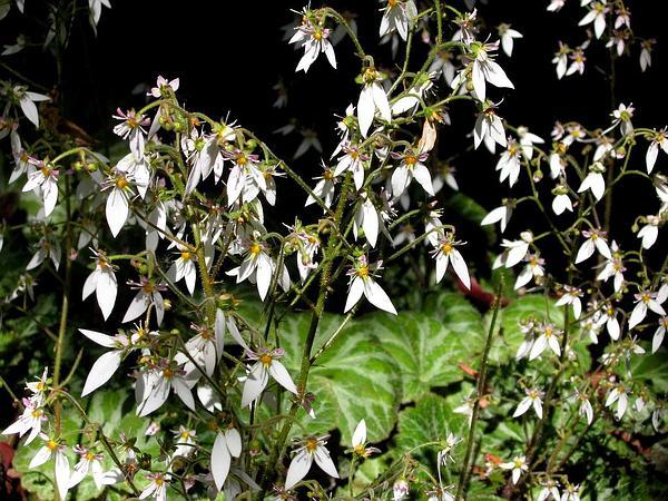 Creeping Saxifrage (Saxifraga Stolonifera) https://www.sagebud.com/creeping-saxifrage-saxifraga-stolonifera/