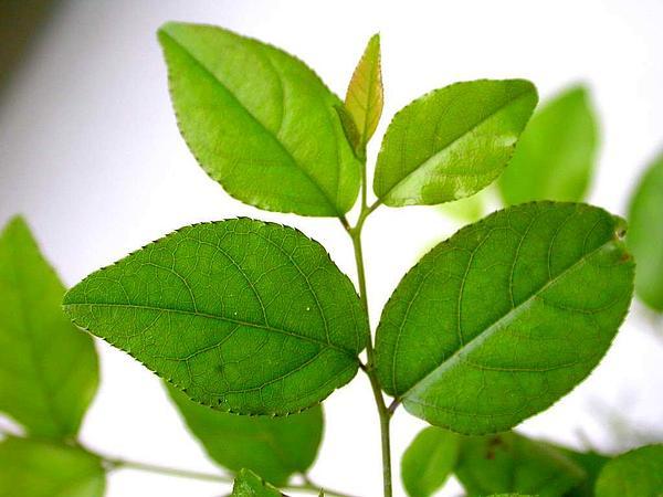 Pauper's-Tea (Sageretia Thea) https://www.sagebud.com/paupers-tea-sageretia-thea