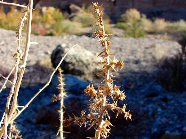 Prickly Russian Thistle (Salsola Tragus) https://www.sagebud.com/prickly-russian-thistle-salsola-tragus/