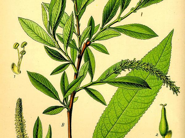 Almond Willow (Salix Triandra) https://www.sagebud.com/almond-willow-salix-triandra/