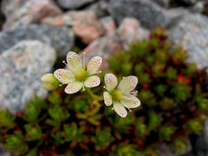 Three Toothed Saxifrage