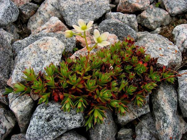 Three Toothed Saxifrage (Saxifraga Tricuspidata) https://www.sagebud.com/three-toothed-saxifrage-saxifraga-tricuspidata