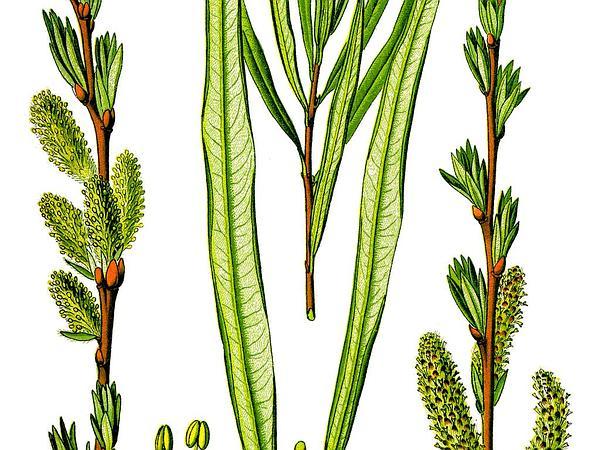 Basket Willow (Salix Viminalis) https://www.sagebud.com/basket-willow-salix-viminalis