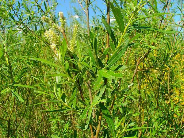 Basket Willow (Salix Viminalis) https://www.sagebud.com/basket-willow-salix-viminalis/