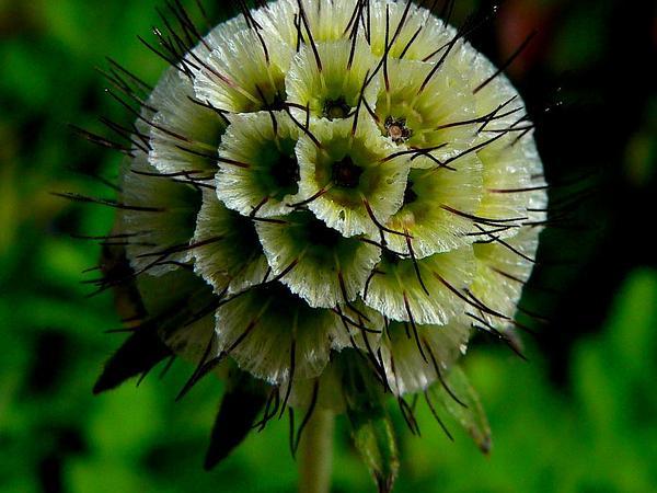 Pincushions (Scabiosa) https://www.sagebud.com/pincushions-scabiosa/