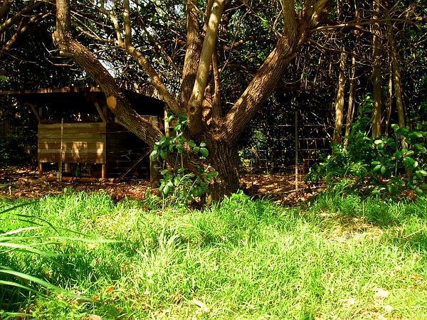 Octopus Tree (Schefflera Actinophylla) https://www.sagebud.com/octopus-tree-schefflera-actinophylla/