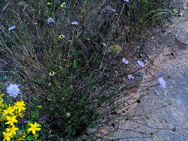 Mourningbride (Scabiosa Atropurpurea) https://www.sagebud.com/mourningbride-scabiosa-atropurpurea