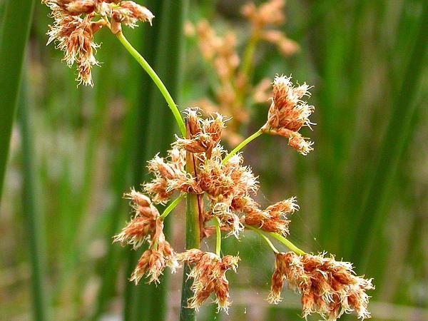 California Bulrush (Schoenoplectus Californicus) https://www.sagebud.com/california-bulrush-schoenoplectus-californicus
