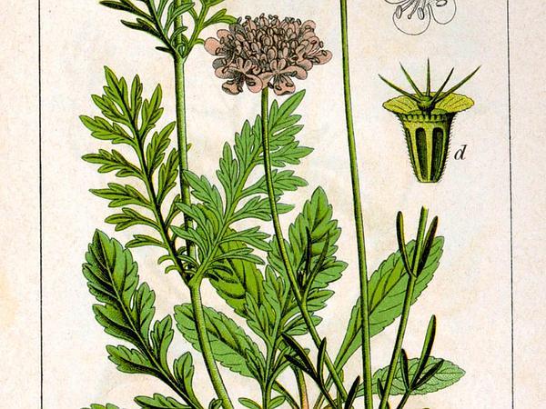 Dove Pincushions (Scabiosa Columbaria) https://www.sagebud.com/dove-pincushions-scabiosa-columbaria