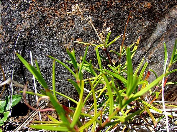 Haleakala Schiedea (Schiedea Haleakalensis) https://www.sagebud.com/haleakala-schiedea-schiedea-haleakalensis/