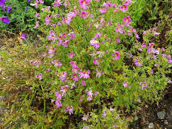Schizanthus (Schizanthus) https://www.sagebud.com/schizanthus-schizanthus