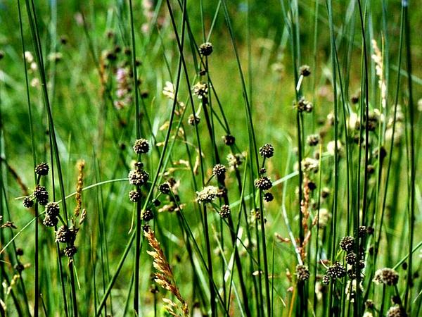 Roundhead Bulrush (Scirpoides Holoschoenus) https://www.sagebud.com/roundhead-bulrush-scirpoides-holoschoenus