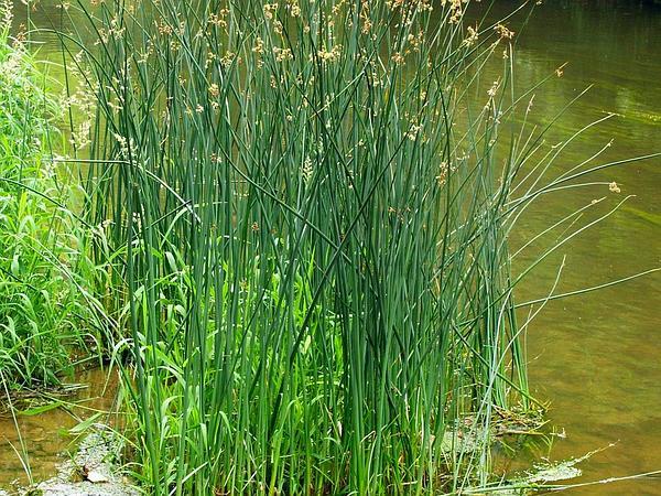 Lakeshore Bulrush (Schoenoplectus Lacustris) https://www.sagebud.com/lakeshore-bulrush-schoenoplectus-lacustris