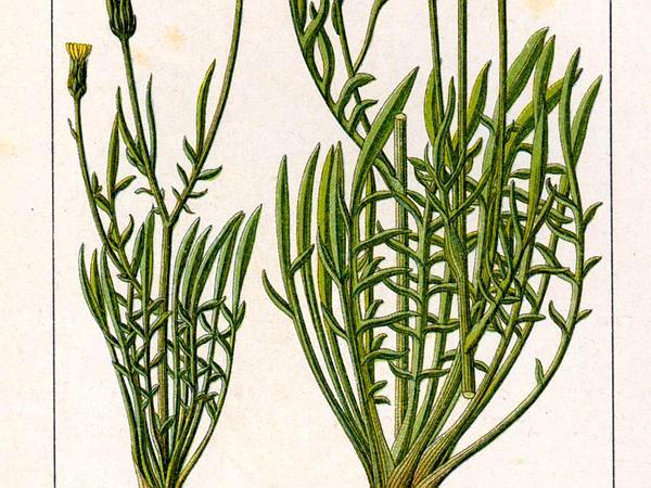Cutleaf Vipergrass (Scorzonera Laciniata) https://www.sagebud.com/cutleaf-vipergrass-scorzonera-laciniata