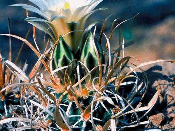 Fishhook Cactus (Sclerocactus) https://www.sagebud.com/fishhook-cactus-sclerocactus