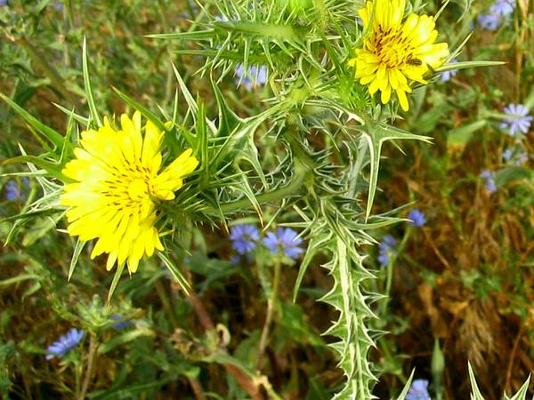 Spotted Goldenthistle (Scolymus Maculatus) https://www.sagebud.com/spotted-goldenthistle-scolymus-maculatus
