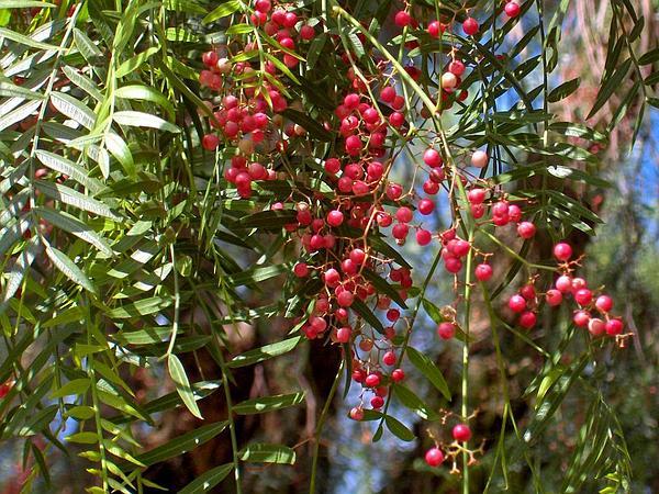 Peruvian Peppertree (Schinus Molle) https://www.sagebud.com/peruvian-peppertree-schinus-molle/