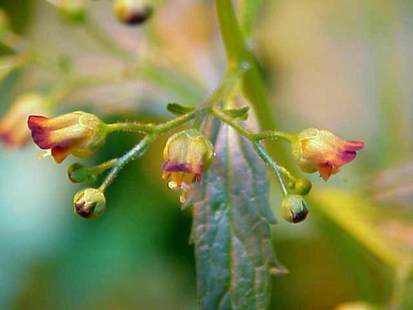 Woodland Figwort (Scrophularia Nodosa) https://www.sagebud.com/woodland-figwort-scrophularia-nodosa