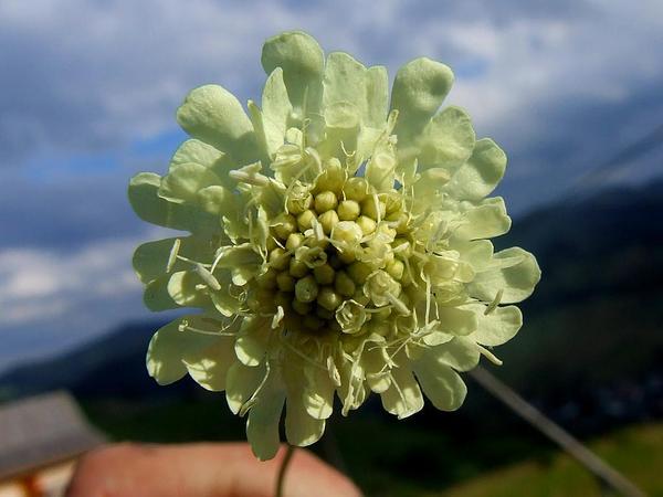 Cream Pincushions (Scabiosa Ochroleuca) https://www.sagebud.com/cream-pincushions-scabiosa-ochroleuca