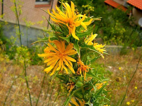 Goldenthistle (Scolymus) https://www.sagebud.com/goldenthistle-scolymus