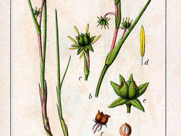 Rannoch-Rush (Scheuchzeria Palustris) https://www.sagebud.com/rannoch-rush-scheuchzeria-palustris