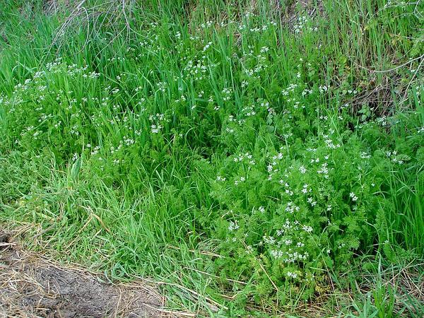 Shepherdsneedle (Scandix Pecten-Veneris) https://www.sagebud.com/shepherdsneedle-scandix-pecten-veneris