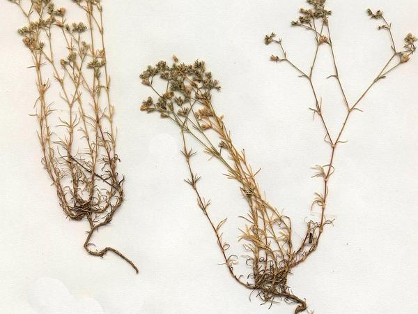 Perennial Knawel (Scleranthus Perennis) https://www.sagebud.com/perennial-knawel-scleranthus-perennis/