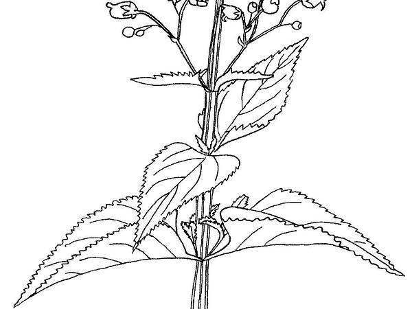Figwort (Scrophularia) https://www.sagebud.com/figwort-scrophularia