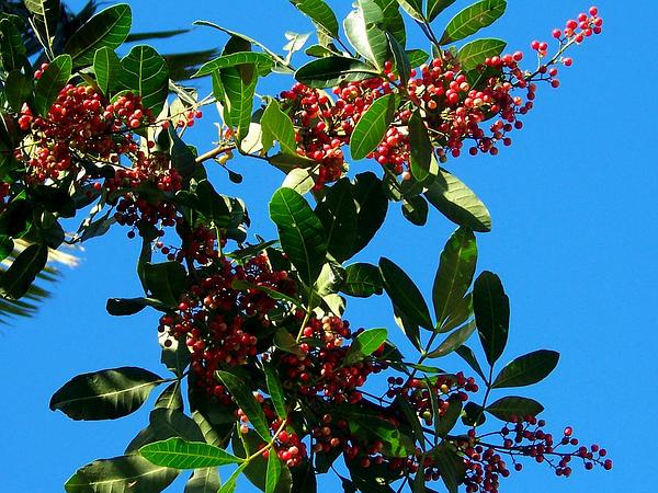 Brazilian Peppertree (Schinus Terebinthifolius) https://www.sagebud.com/brazilian-peppertree-schinus-terebinthifolius
