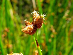 Streambank Bulrush