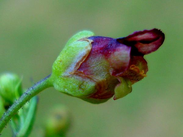 Water Figwort (Scrophularia Umbrosa) https://www.sagebud.com/water-figwort-scrophularia-umbrosa/