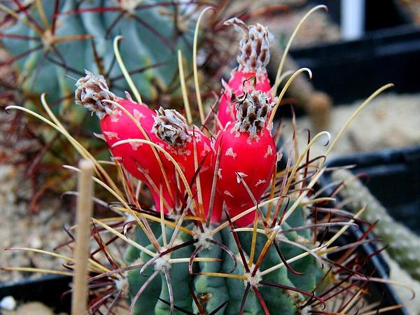 Chihuahuan Fishhook Cactus (Sclerocactus Uncinatus) https://www.sagebud.com/chihuahuan-fishhook-cactus-sclerocactus-uncinatus