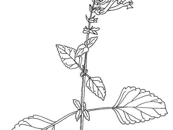 Skullcap (Scutellaria) https://www.sagebud.com/skullcap-scutellaria