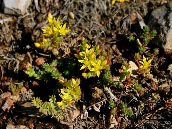 Goldmoss Stonecrop (Sedum Acre) https://www.sagebud.com/goldmoss-stonecrop-sedum-acre