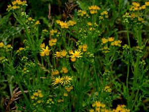 Water Ragwort