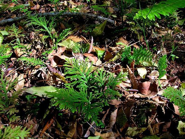 Dwarf Spikemoss (Selaginella Arbuscula) https://www.sagebud.com/dwarf-spikemoss-selaginella-arbuscula