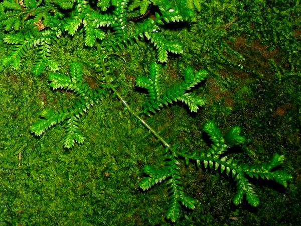Braun's Spikemoss (Selaginella Braunii) https://www.sagebud.com/brauns-spikemoss-selaginella-braunii