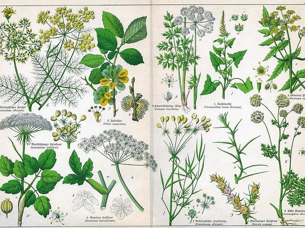 Little-Leaf Angelica (Selinum Carvifolia) https://www.sagebud.com/little-leaf-angelica-selinum-carvifolia