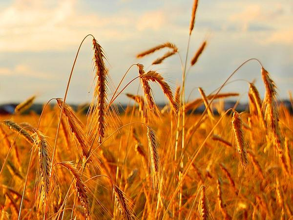 Cereal Rye (Secale Cereale) https://www.sagebud.com/cereal-rye-secale-cereale