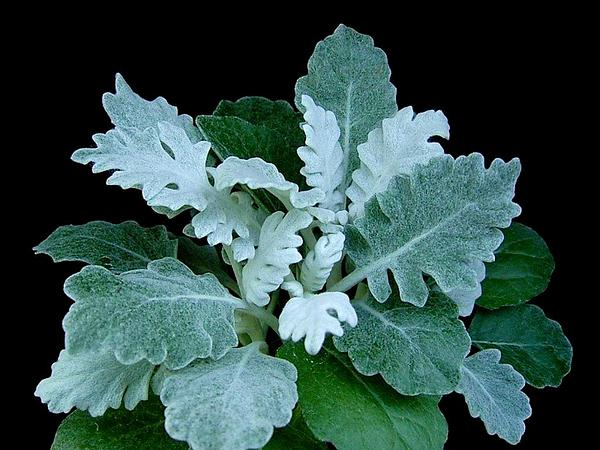 Dusty Miller (Senecio Cineraria) https://www.sagebud.com/dusty-miller-senecio-cineraria