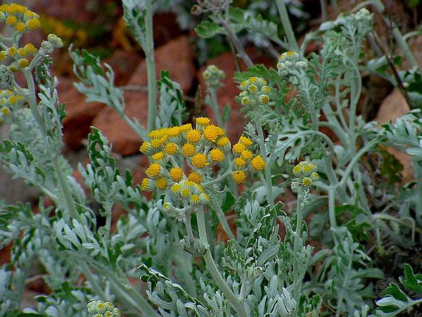 Dusty Miller (Senecio Cineraria) https://www.sagebud.com/dusty-miller-senecio-cineraria/
