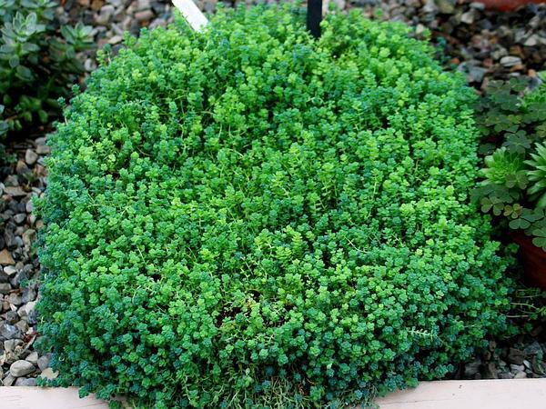 Thick-Leaf Stonecrop (Sedum Dasyphyllum) https://www.sagebud.com/thick-leaf-stonecrop-sedum-dasyphyllum