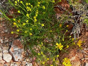 Threadleaf Ragwort