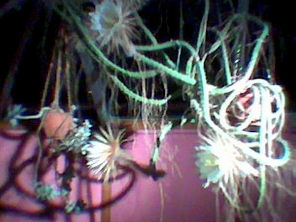 Queen Of The Night (Selenicereus Grandiflorus) https://www.sagebud.com/queen-of-the-night-selenicereus-grandiflorus/