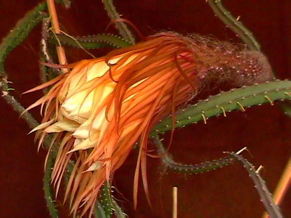 Queen Of The Night (Selenicereus Grandiflorus) https://www.sagebud.com/queen-of-the-night-selenicereus-grandiflorus