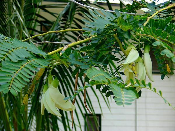 Vegetable Hummingbird (Sesbania Grandiflora) https://www.sagebud.com/vegetable-hummingbird-sesbania-grandiflora/