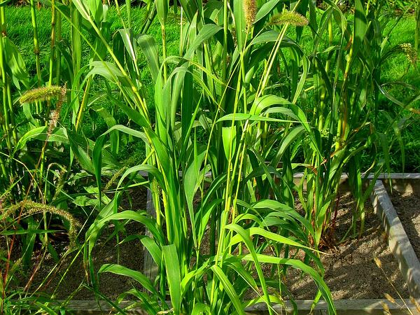 Foxtail Bristlegrass (Setaria Italica) https://www.sagebud.com/foxtail-bristlegrass-setaria-italica/